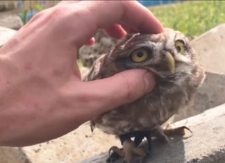 Video of a Happy Small Owl With Big Eyes - Complains By No Petting