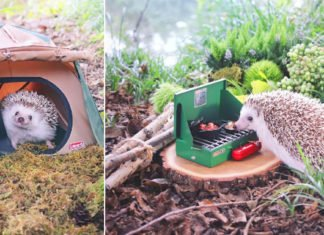 Japanese Tiny Hedgehog Makes His Life Better With Outdoor Camping