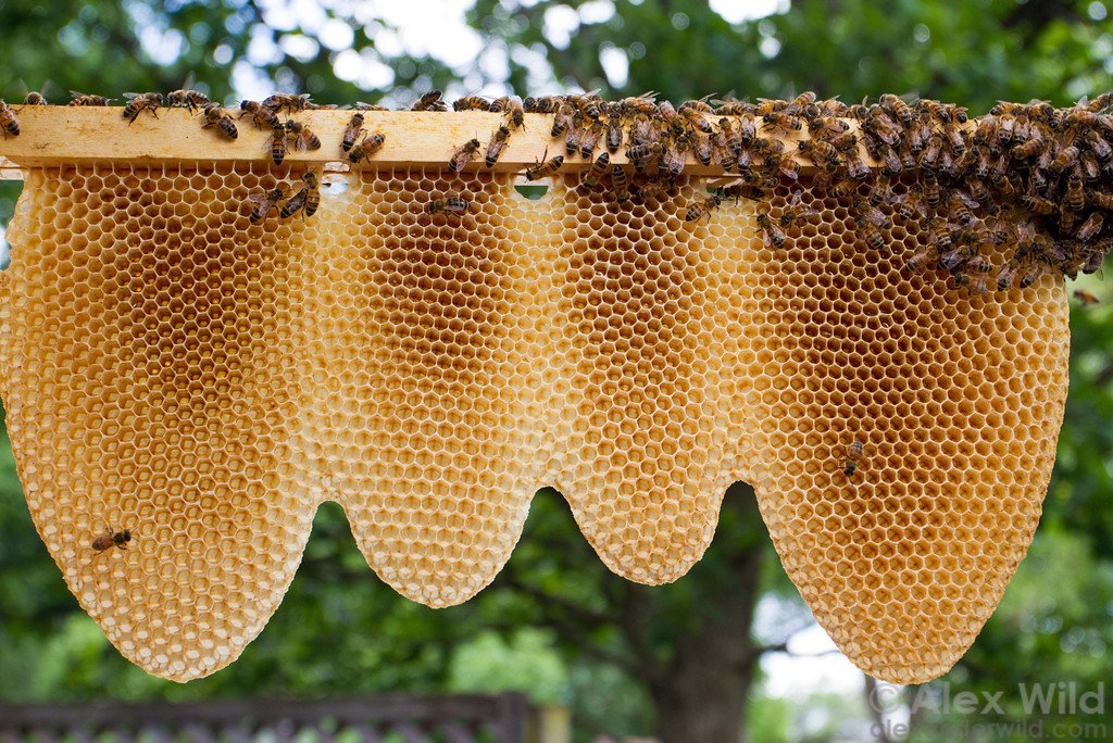 Pictures Of Natural Beehives   Pictures of Nnature  Natural Beehives