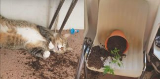 Cannabis Cats: Cat's Get High By Eating Marijuana Plants Like Catnip
