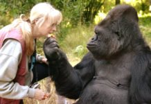 Koko The Gorilla Who Mastered signal Language And loved Cats, Has Died Koko The Gorilla Who Mastered Sign Language Has Died At 46
