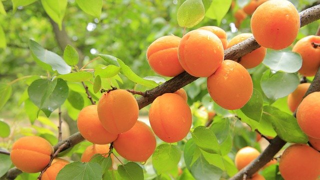 What Are The Benefits Of Apricots