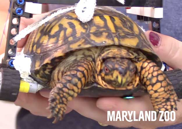 Turtle gets hurt – Zoo helps her with toys to get up!
