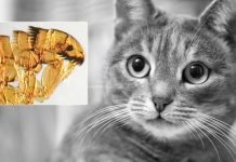 Signs Of Fleas In Cats - How To Prevent and Treat Flea Infected Cat?