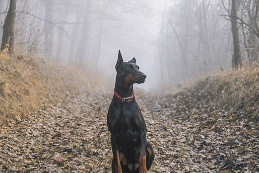 Doberman Pinscher / Image by patstatic from Pixabay
