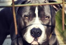 The World's Most Dangerous Dog Breeds - Top Ten List Of The Best