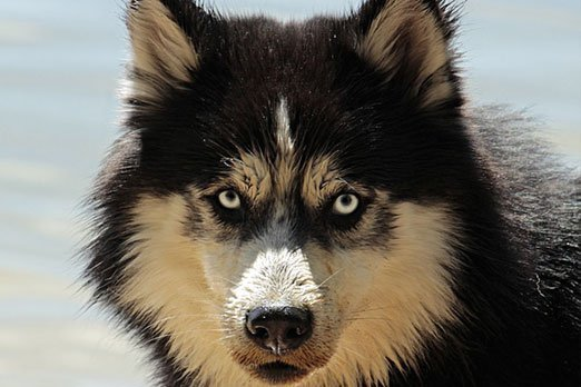 Siberian Wolf Husky / Image by pixel2013 from Pixabay
