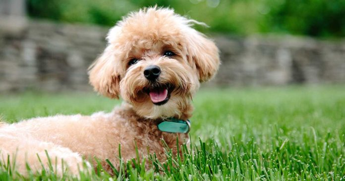What You Need To Know About The Poodle Dog