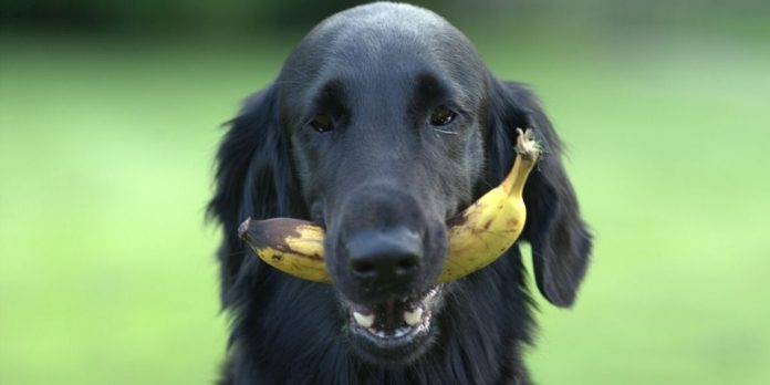 Feeding Dogs with Bananas - Yes, dogs can eat bananas but in moderation.