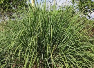 Lemongrass Benefits and Side Effects