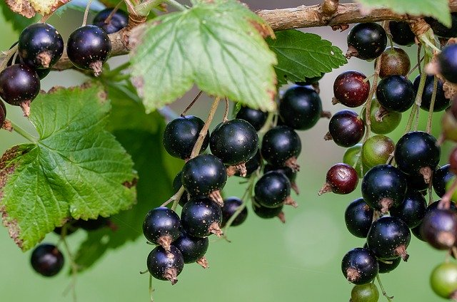 Polyphenol content in Fruits