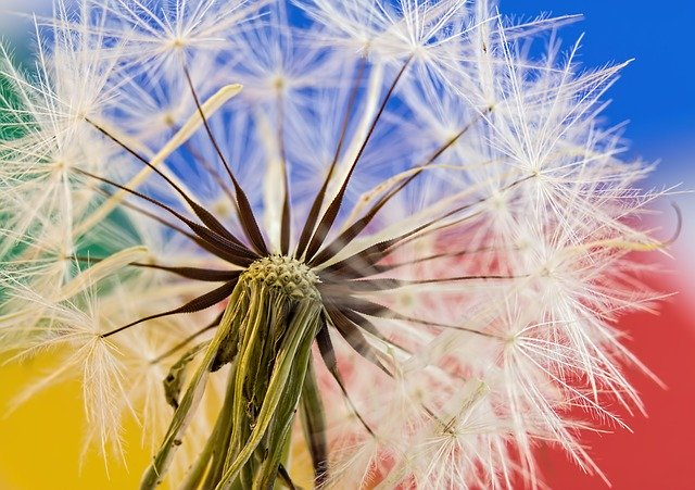 What is dandelion root good for? About Dandelion Root