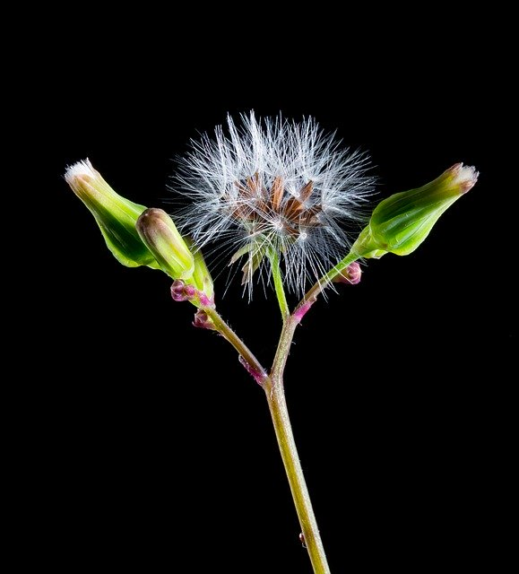 What is dandelion root good for? Health Benefits of Dandelion Root