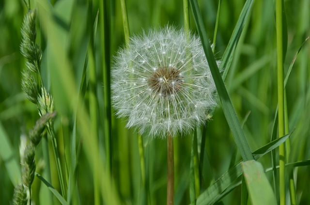 What is dandelion root good for? Side Effects of Dandelion Root