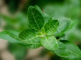 Ashwagandha Benefits and Side Effects