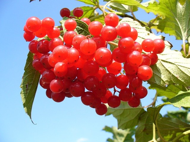 Cranberry Benefits for bladder infections