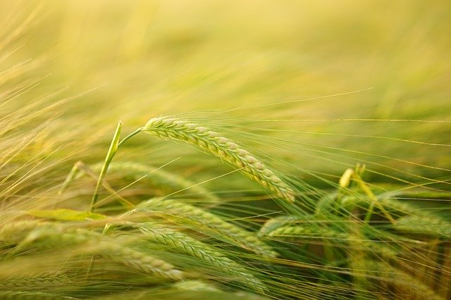 Health benefits of barley - Ingredients, and effects