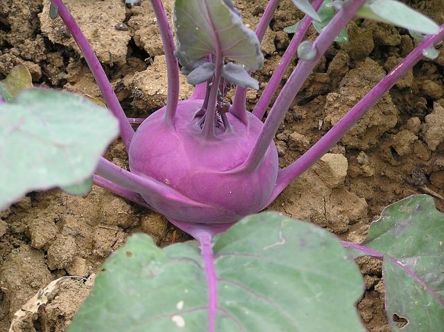 Kohlrabi - growth, and cultivation