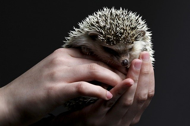 Whats needs to be getting considered when helping a hedgehog