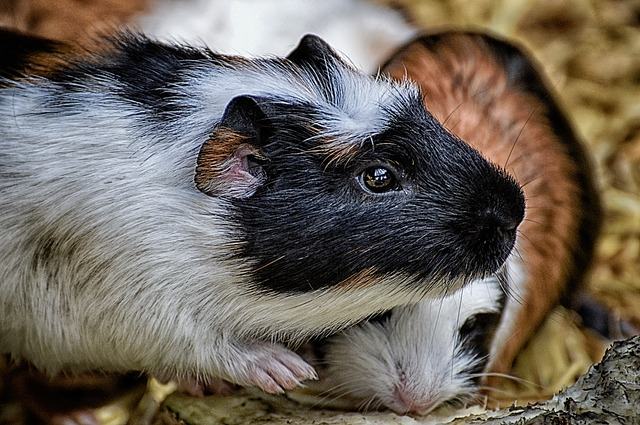 Buy domestic guinea pigs or racial guinea pigs