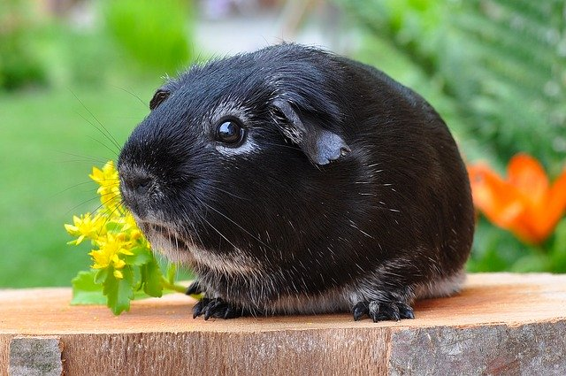 Buy preparation for the guinea pig.