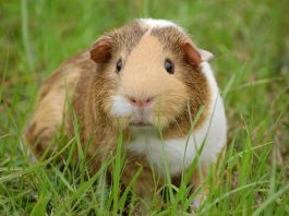 Guinea Pig Buying Guide