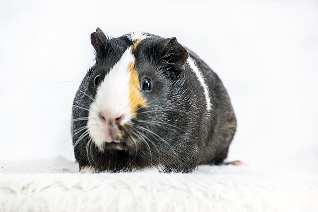 Guinea pigs from private or animal shelter
