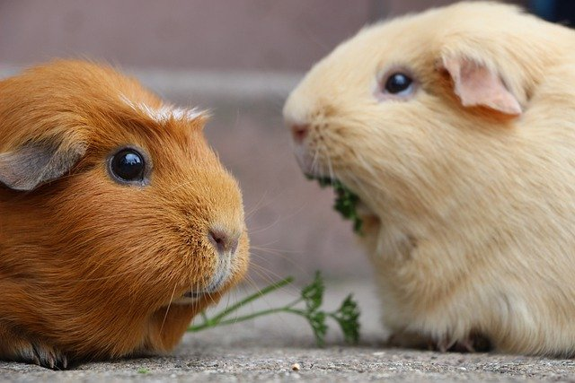 How to buy a guinea pig