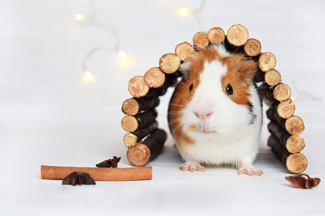 The right shelters and houses after guinea pig purchase