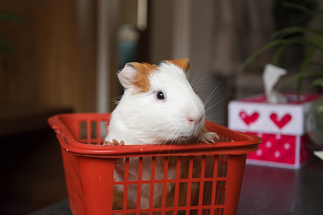 Transport after guinea pig purchase