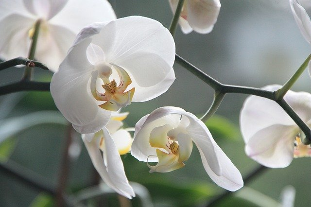 Causes of lice infestation on orchids