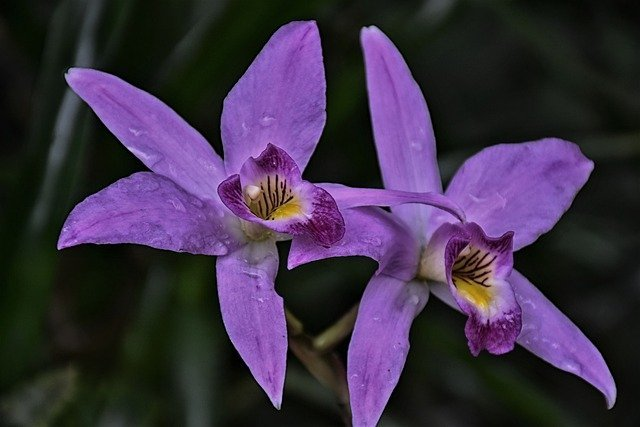 Get rid of aphids, lice, mealybug, or scale insects on orchid with spirit
