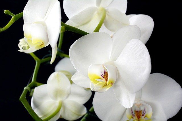 Lice and mealybugs infestation on orchids in summary explained
