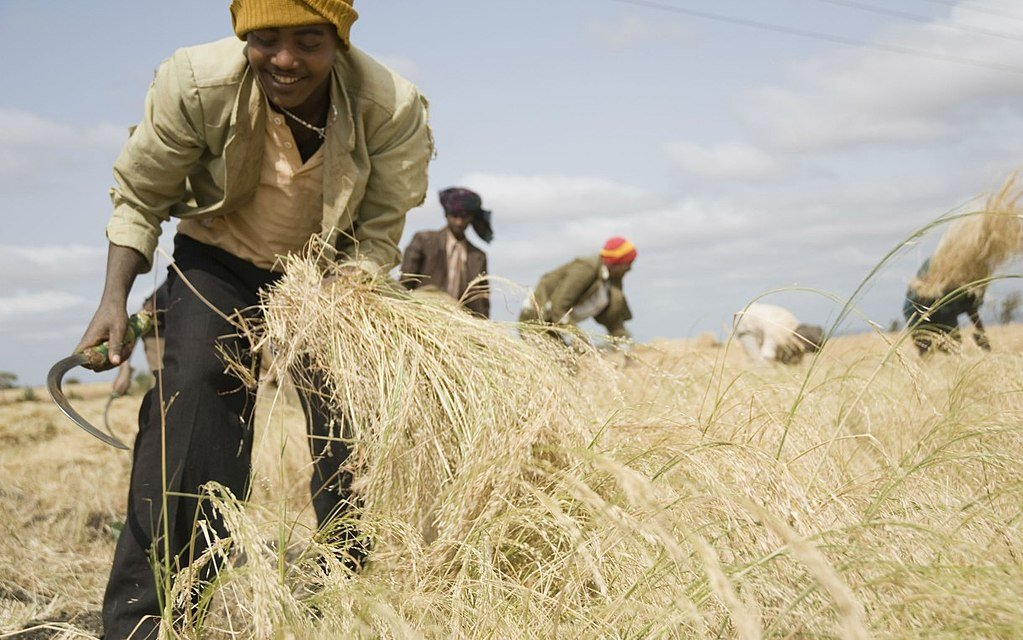How healthy is Teff?