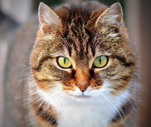 What is cat cold - Various pathogens can trigger a cat cold